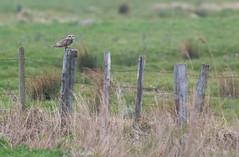 Hibou des marais (kingfisher001) Tags: hiboudesmarais asioflammeus shorteared owl marais strigiformes strigidés