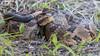 Timber Rattlesnake [Crotalus horridus] (kkchome) Tags: herping herp herpetology reptile snake timber rattlesnake crotalus horridus nature wildlife fauna usa missouri flipping