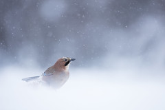 Jay (Daniel Trim) Tags: garrulus glandarius corvid bird birds birding nature animals sweden scandinavia european photo conny lundstrom lundström kalvträsk skellefteå skellftea winter snow snowy snowing