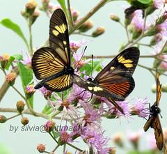 butterflies (silwittmann) Tags: borboleta inseto butterfly animal nature natureza serradoperimbo petrolandia santacatarina sc brasil brazil wildlife flor flower