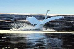 Landing,,,ten points... (irio.jyske) Tags: naturepic naturephotograph naturephotos naturephotographer naturepics naturescape naturepictures naturephoto nature landscapepic lanscape landscapes landscapephotos landscapephotographer landscapephotograph landscape lakescape animal swan bird flight perfect landing river creek lake pond winter snow ice cold