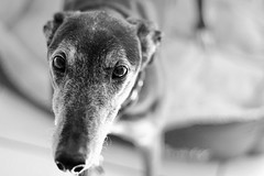 Fuss me (karl2077) Tags: animal canonphotography eos1300d canon dog greyhound