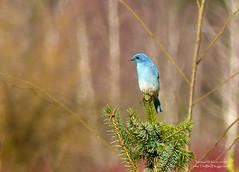Mountain Bluebird - Surrey, BC (Michael W Klotz - The Bird Blogger.com) Tags: mountain bluebird fir blue tree bird color migration thrush surrey bigbend park bc britishcolumbia canada sialiacurrucoides