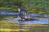 Sparrowhawk (image 2 of 3) (Full Moon Images) Tags: rspb sandy lodge thelodge wildlife nature reserve bird birdofprey washing bathing sparrowhawk