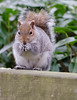 Ahh breakfast!!! (jlc pics) Tags: squirrel rufford park nature countryside rodent animal nottinghamshire nikon d7000 sigma 150600mm
