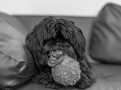 nikon and his ted (paul hitchmough photography 2) Tags: nikon puppy dog portrait ted blackandwhite monochrome nikond4s nikon50mm 50mm niftyfifty paulhitchmoughphotography