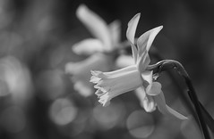 Springtime Joy (AnyMotion) Tags: daffodil narzisse osterglocke narcissus floral flowers blossom blüte plant pflanze light licht bokeh 2018 anymotion nature natur frankfurt garden garten 7d2 canoneos7dmarkii spring frühling primavera printemps bw blackandwhite sw