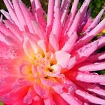 Wet Pink Beauty thumbnail