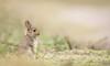 Young rabbit (Guido de Kleijn) Tags: rabbit oryctolaguscuniculus konijn dunes guidodekleijn nikond500 nikon200500f56 nikon monster solleveld denhaag