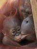 Orangutan Samboja and Indah Apenheul BB2A2075 (j.a.kok) Tags: ape aap apenheul animal asia azie pongo orangutan orangoetan mammal monkey mensaap zoogdier dier primaat primate orang samboja indah