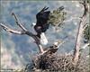 A Tribute 7139 (maguire33@verizon.net) Tags: baldeagle sangabrielmountainsnationalmonument eaglet eaglets father female male mother motherhood nest nestingpair pair parent wildlife