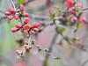 Flowering Quince - Chaenomeles speciosa (gabicuff1) Tags: chaenomelesspeciosa quince