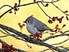 Tufted Titmouse (Anne Ahearne) Tags: bird nature wild animal cute wildlife gray grey tuftedtitmouse tree maple blossoms
