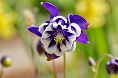 Aquilegia vulgaris (Jim Atkins Sr) Tags: aquilegia aquilegiavulgaris flower columbine garden tryonpalace newbern northcarolina sony sonyphotographing sonya58