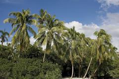 paradise, tropical style (ucumari photography) Tags: ucumariphotography naples florida fl palm trees green paradise tropical january 2018 dsc5748
