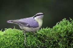 Wood nuthatch - Sitta europaea - Trepador azul. (Fotografias Unai Larraya) Tags: fauna animales bosque orgi navarra musgo naturaleza ngc aves trepadorazul