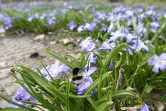 Första humlan - Fotosöndag (annesjoberg) Tags: vår spring humla tecken sign fs180415 fotosondag fotosöndag photosunday
