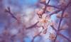 Spring blossom (Dhina A) Tags: sony a7rii ilce7rm2 a7r2 minolta md zoom 3570mm f35 minoltamdzoom3570mmf35 1983 14 macro sharp bokeh constantf35 modified f28 cherry plum flower spring blossom