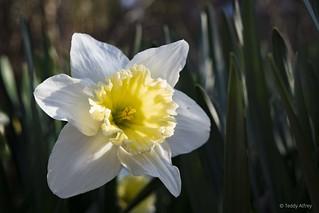 Yellow Cup Daffodil