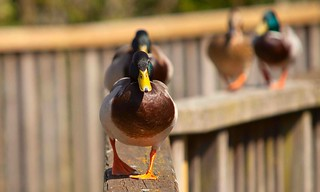 The Duck Walk