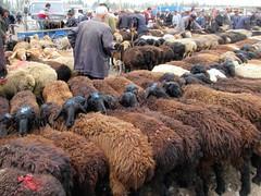 Rows of Sheep (D-Stanley) Tags: sheep kashgar xinjiang china