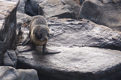 Sea Lion - Admirals Arch - Kangaroo Island - Australia (wietsej) Tags: sea lion admirals arch kangaroo island australia sony rx10 iv rx10m4 animal nature