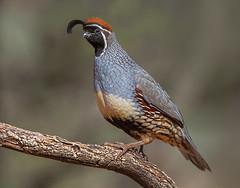 Gambel's Quail (male) (Eric Gofreed) Tags: arizona gambelsquail mybackyard sedona villageofoakcreek yavapaicounty