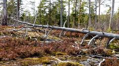 Burnt pine forest (Nuuksio national park, Velskola, Espoo, 20180420) (RainoL) Tags: crainolampinen 2018 201804 20180420 april deadwood esbo espoo finland fz200 geo:lat=6031195578 geo:lon=2461770058 geotagged nationalpark nouxnationalpark nuuksionationalpark nuuksionkansallispuisto nyland spring tree trees uusimaa velskola vällskog fin wood forest