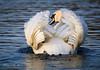 Mute Swan at Sunset (kieran_metcalfe) Tags: wings arch beak naturallight water birds catchlight lake cheshire blue wildlife feathers swan swim muteswan display ripples sunlight white