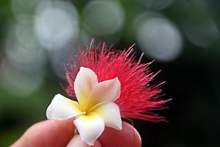 Mini Plumeria sur Calliandra du jardin