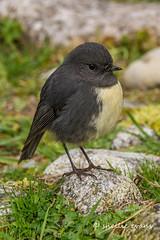 South Island Bush Robin/Toutouwai (flyingkiwigirl) Tags: bushrobin camp canterburynorth doc hanmersprings lakedaniells lewispass marblehill murchison stjameswalkway waiauferrybridge toutouwai native bird