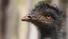 Step 1 : Apply mud mask (Coisroux) Tags: ostrich eye glint closeup d5500 nikond nikond5500 mud portrait flickrheroes