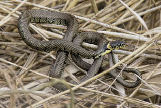 Grass Snake Otmoor Apr 2018
