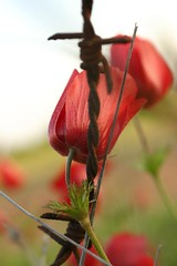 All that left.... (ido1) Tags: red flower green topv111 canon israel blood wire topv333 war peace saveme dof cross deleteme10 memories anemone barbedwire end weeklysurvivor utataspotlight