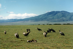 vulture (kevinzim) Tags: animal animals zoology nature natural wild wildlife africa safari tropical african tanzania serengeti bird birds marabou stork unesco unescoworldheritagesite carcass savannah heritage nationalpark om10