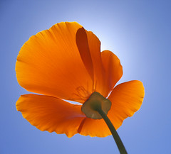 Sutter's Fort Poppy (laura.bell) Tags: california blue shadow sky orange sun flower up bravo poppy sacramento backlit creamofthecrop cy mostfaves 255 suttersfort cotcbest2005 escholtziacalifornica cy2 challengeyou challengeyouwinner colorphotoaward diamondclassphotographer flickrdiamond shotsilove