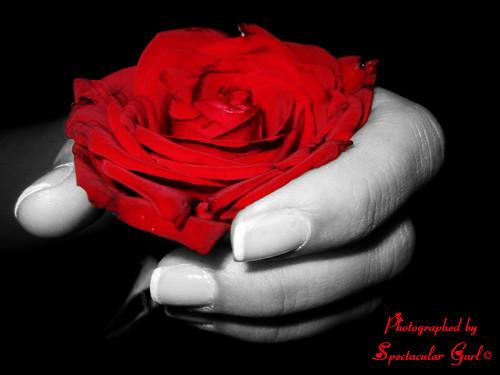 ورود الأوضاع - ورود الحب - ورود الحزن والفراق - صور ورود معبرة للحب