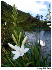 Heaven is a place called... you (Azorina) Tags: blue white flower branco reflections wonder ilovenature swan poetry poem greenisbeautiful flor poesia dreamlike reflexos cisne azores nsync poema iridaceae azorina