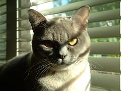 intent (galaxygrrl) Tags: cat fuzzy intent gaze curious grey gray light shadow blinds