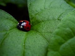 Ladybug (jillmotts) Tags: red macro green insect beetle ladybird ladybug crg ladybeetle jillmotts