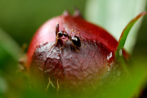 extreme close-up of ants on peony flower bud