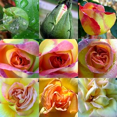 Peace rose, from start to finish (mimbrava) Tags: macro rose topv111 collage wow garden interesting mosaic mimbrava peacerose storymosaic setmyfavorites setflickrfavorites setflowersset1 setjustroses setmosaics set64intop5001