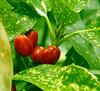 Beauty Berry (Hupaishi) Tags: berry 2005 april victoria vancouver garden canada deleteme deleteme3 deleteme2 deleteme4 deleteme5 deleteme6 deleteme7 deleteme8 deleteme9 deleteme10