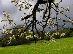 Old branch with cherry blossoms (Linda6769) Tags: sky cloud flower tree nature germany season cherry landscape countryside spring flora ast branch village blossom may meadow wiese wolke thuringia twig wildflower blte landschaft cloudysky dandilion blooming wolkig bloomingtree blumenwiese zweig hildburghausen blhend brden bewlkterhimmel wildblumenwiese blhenderbaum