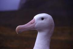 Grand Albatros à Kerguelen