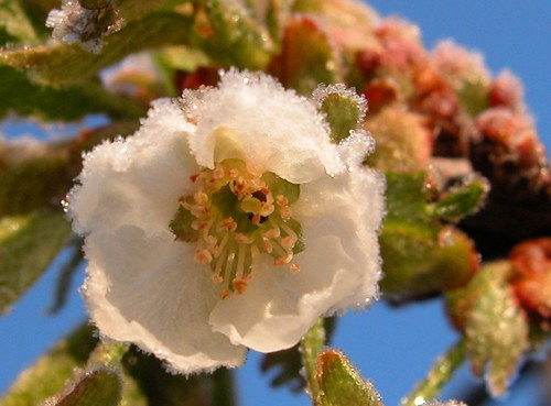 Poor Cold Blossom - May 3rd Frost by CaptPiper, on Flickr