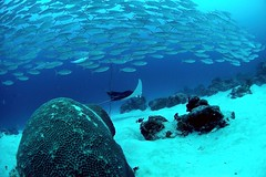 manta (TomKanazawa) Tags: manta sea blue diving diver scuba beach bay fish tomkanazawa aqua coral islands island underwater palau bluehole topv111
