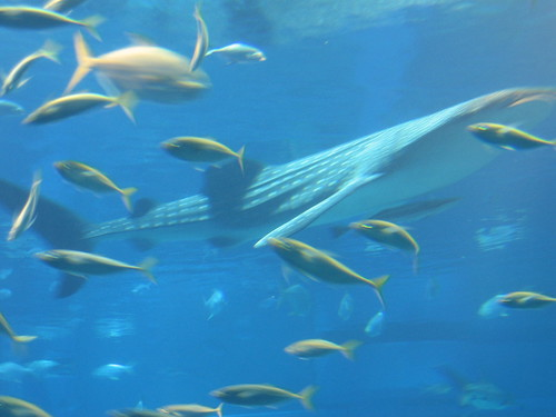 Whale Shark and Fish in Aquarium