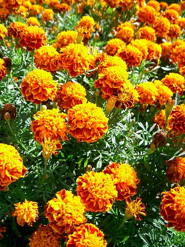 Marigolds by Br3nda (Flickr)