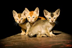 triplet cats in a sun ray (phitar) Tags: cats 3 2004 trois cat wow three topf50 kitten asia ears myanmar trio triplet phitar